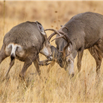 Mark Peters Mule Deer Fight
